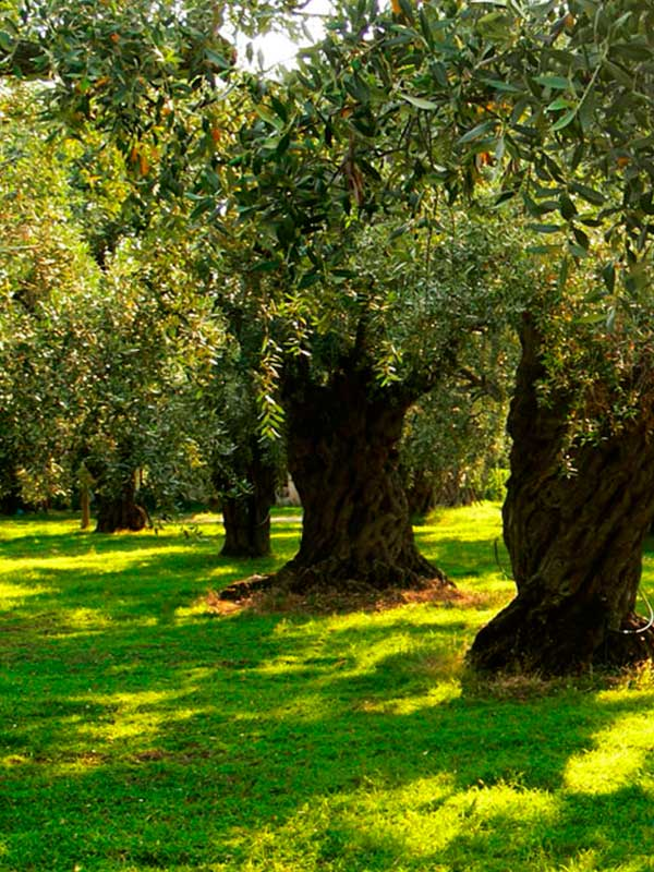 aceite-de-olivo